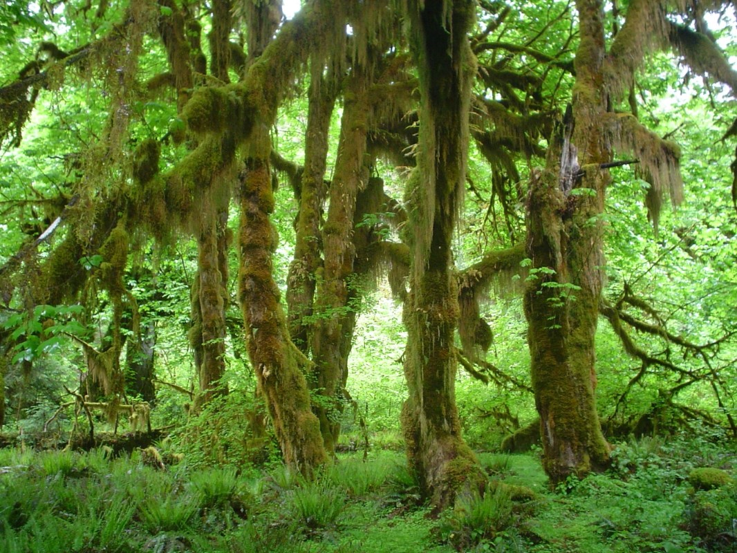 Acer_macrophyllum_in_Hoh_Rain_Forest