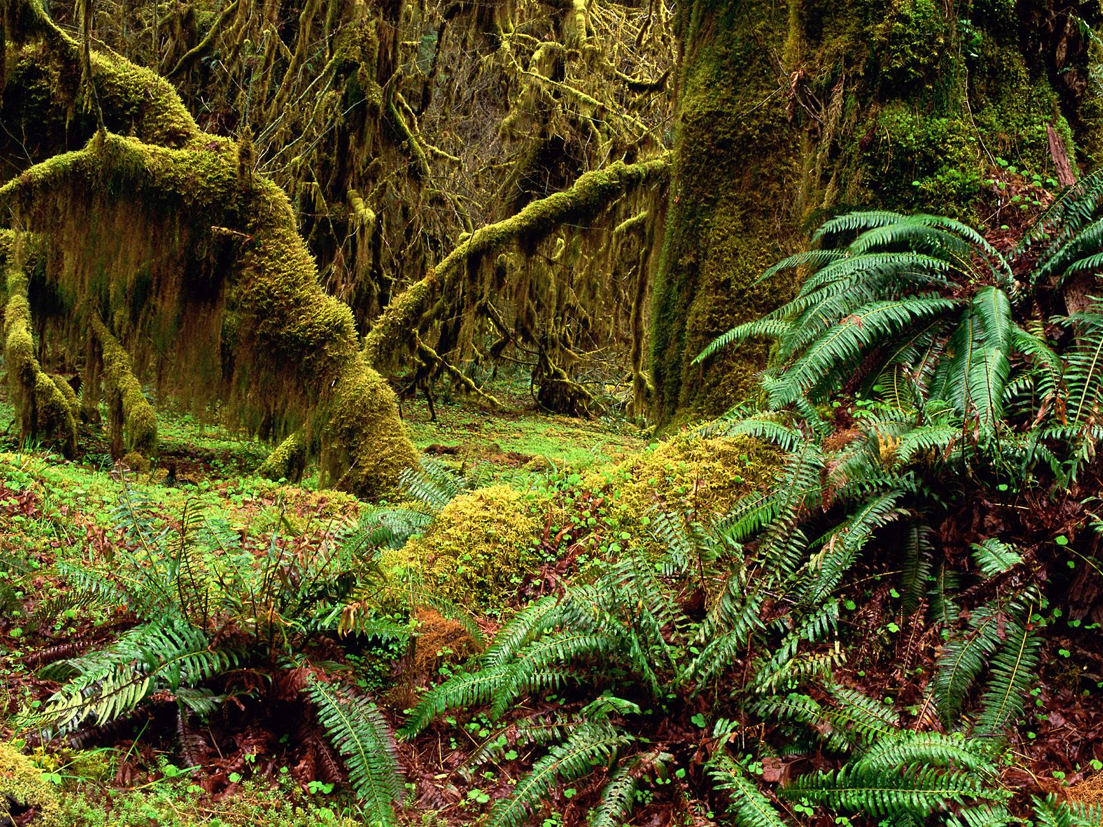 Hall of Mosses Trail, Olympic National Park, Washington