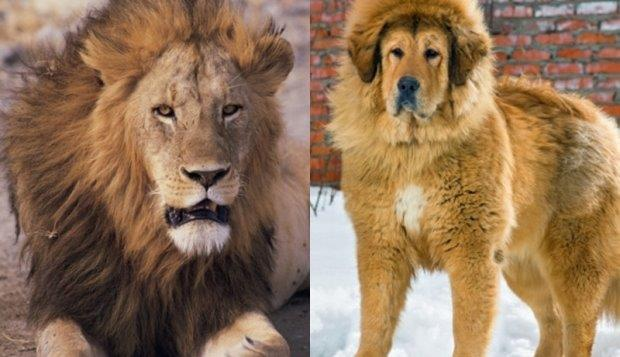 lav u Kini