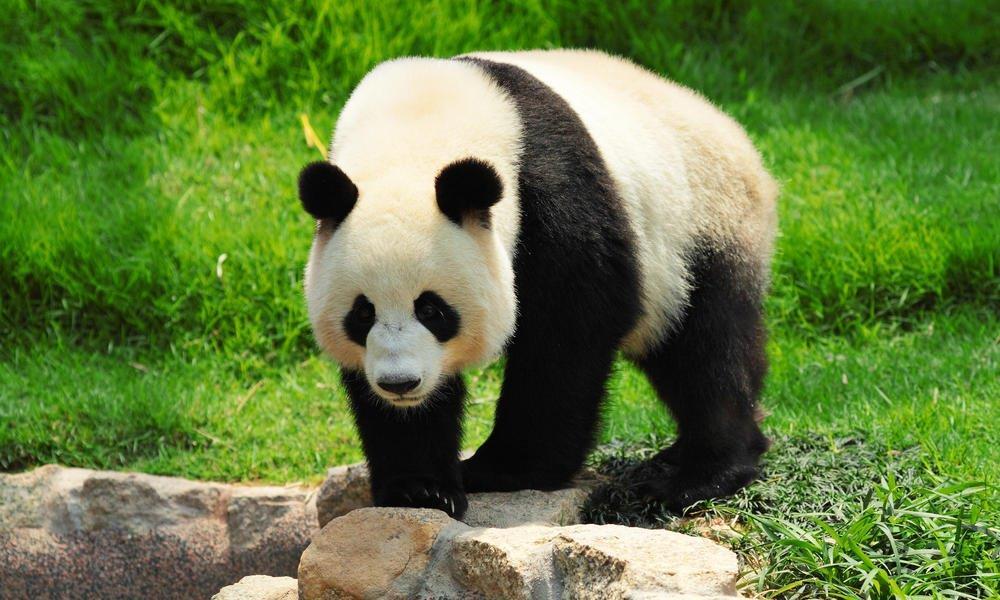 panda u Kini