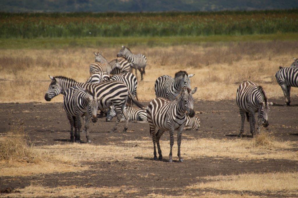 Zebre u Africi
