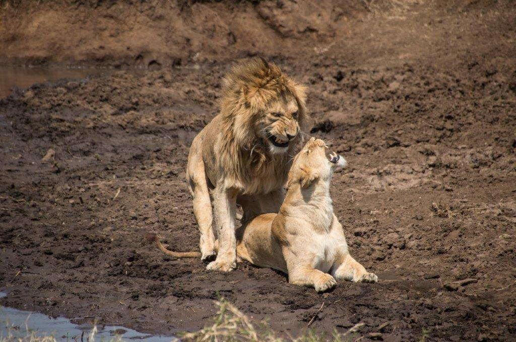 Lav u divljini
