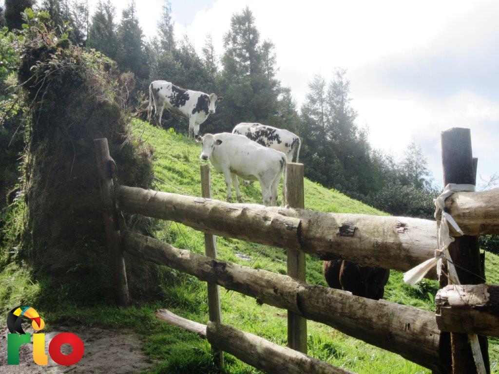 krave-na-azorima