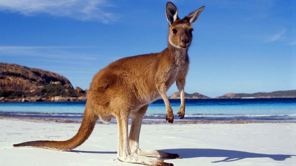 kengur Australija