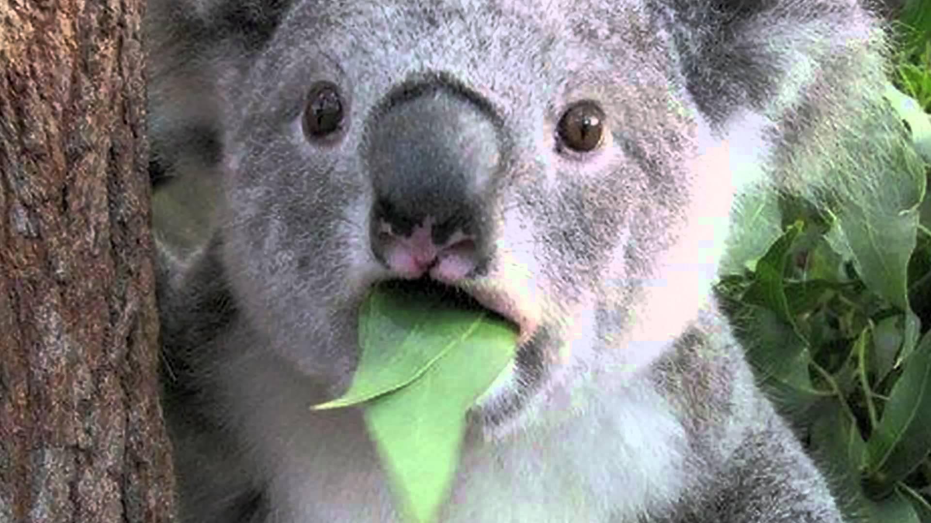 Smješna koala