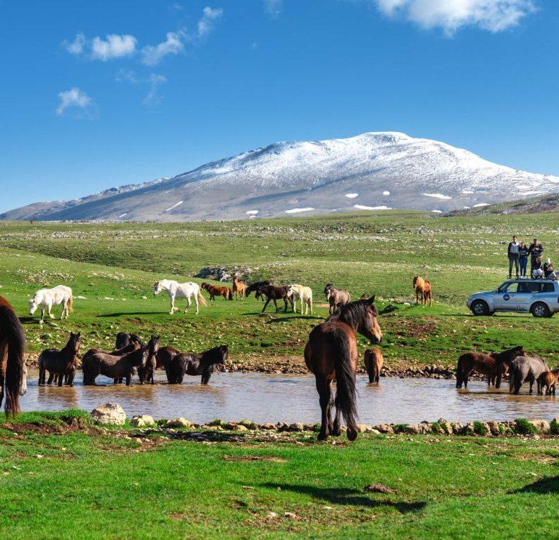 Divlji konji u Livnu