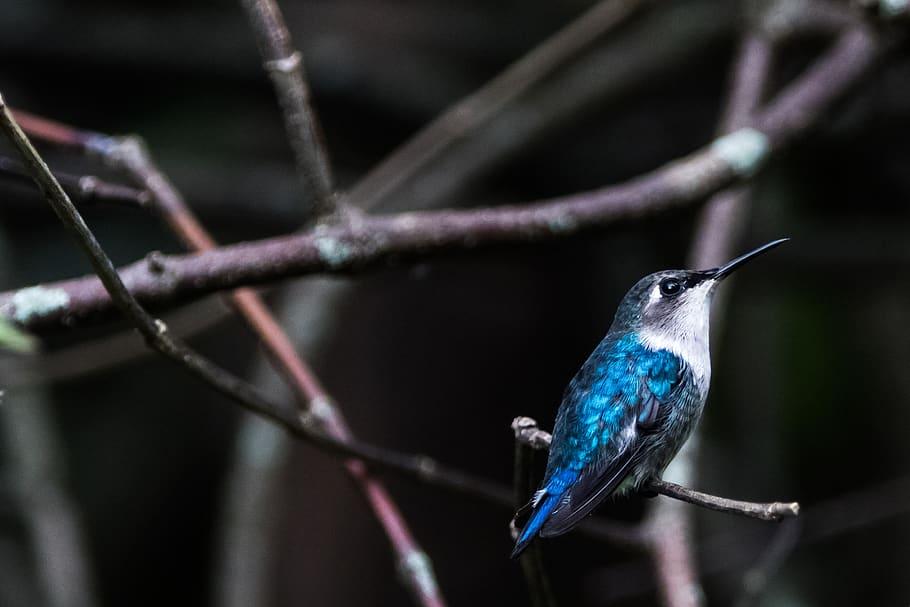 zunzuncito ptica