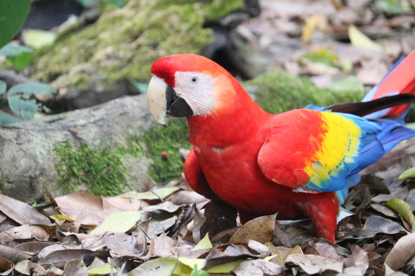 Ara papagaj Honduras